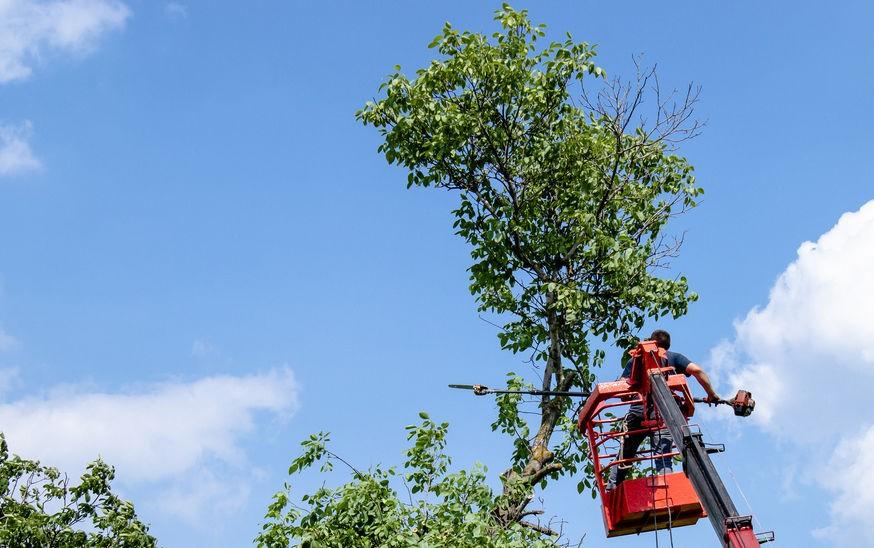 גיזום עץ אגרסיבי